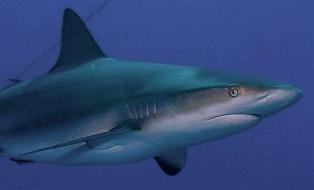 Sharks03